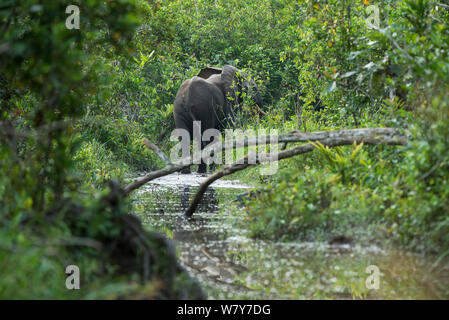 Rear view African forest elephant (Loxodonta cyclotis) in water, Lekoli River, Republic of Congo (Congo-Brazzaville), Africa. Vulnerable species. - Stock Photo