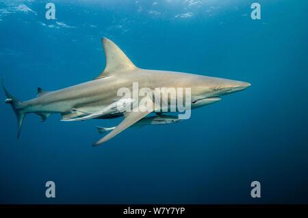 Oceanic Black tip shark (Carcharhinus limbatus) with Remora (Remora remora) Umkomaas. KwaZulu Natal, South Africa. - Stock Photo