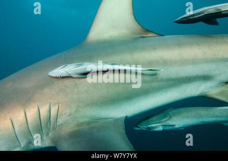 Remora (Remora remora) attached to Oceanic Black tip shark (Carcharhinus limbatus) Umkomaas. KwaZulu Natal, South Africa. - Stock Photo