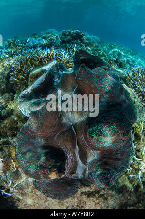 Giant clam (Tridacna gigas) open, showing mantle. Fiji, South Pacific. - Stock Photo