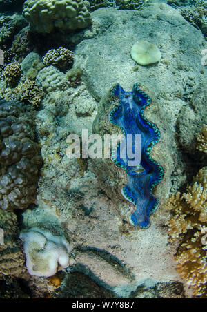 Smooth giant clam (Tridacna derasa) Fiji, South Pacific. - Stock Photo