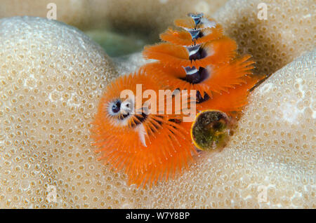 Christmas tree worm (Spirobranchus sp) Fiji, South Pacific. - Stock Photo