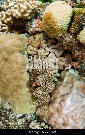 Boring giant clam (Tridacna crocea) Fiji, South Pacific. - Stock Photo