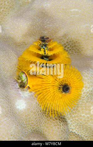 Christmas tree worm (Spirobranchus sp) Rainbow Reef, Fiji, South Pacific. - Stock Photo