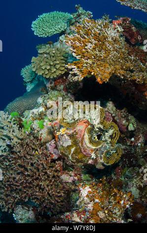Giant clam (Tridacna sp) Rainbow Reef, Fiji, South Pacific. - Stock Photo