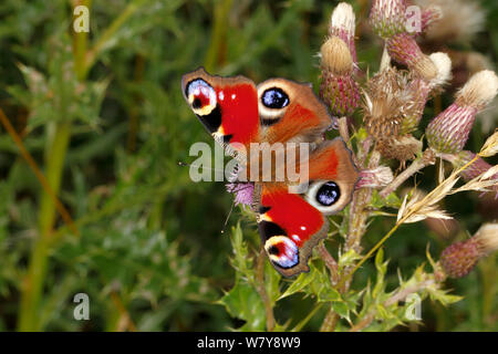 Peacock butterfly (Aglais io) on Creeping thistle (Cirsium arvense) Cheshire, UK, August. - Stock Photo