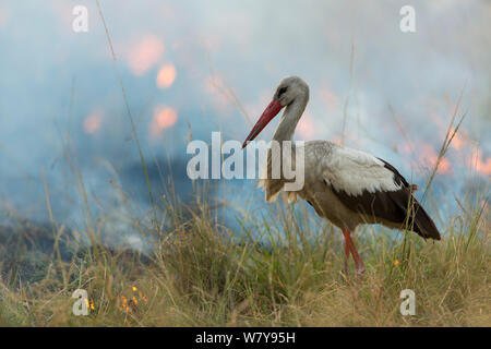 White stork (Ciconia ciconia) hunting and feeding at the edge of a bushfire, Masai-Mara Game Reserve, Kenya. March. - Stock Photo
