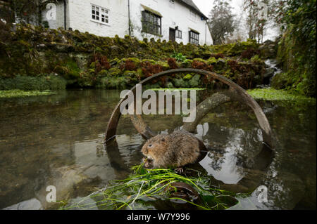Water vole (Arvicola amphibius) on old pump wheel outside house, Kent, UK, January. - Stock Photo