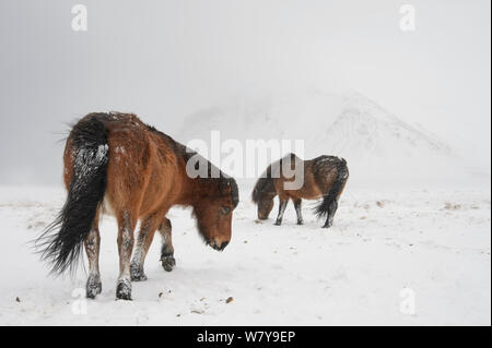 Two bay Icelandic horses in snow, Snaefellsnes Peninsula, Iceland, March. - Stock Photo