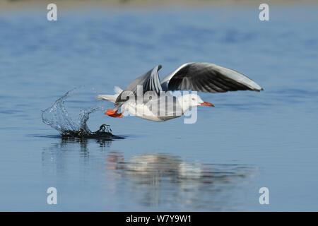 Slender billed gull (Chroicocephalus genei) taking off from water, Oman, December - Stock Photo