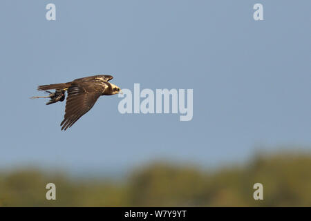 Western marsh harrier (Circus aeruginosus) flying with prey in talons, Le Teich, Gironde, France, October - Stock Photo