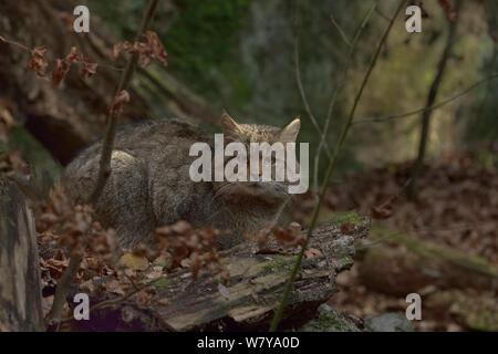 Wild cat (Felis silvestris) sitting in autumn leaves, Bavarian Forest National Park, Bavaria, Germany Captive. - Stock Photo