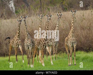 Masai Giraffe (Giraffa camelopardalis tippelskirchi) watching lionesses, Selous Game Reserve, Tanzania. - Stock Photo