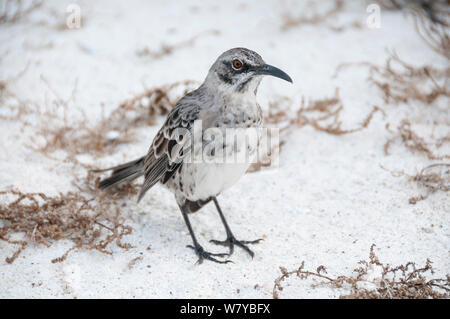 Espanola mockingbird (Mimus macdonaldi) on beach, Galapagos - Stock Photo