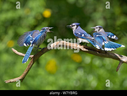 Blue jays (Cyanocitta cristata) two fledglings beg by fluttering wings at adult  (center bird), New York, USA. - Stock Photo