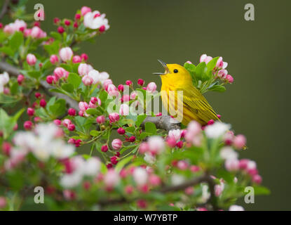Yellow warbler (Setophaga petechia) male singing while perched on crabapple  (Malus sp.) flowers in spring, New York, USA May. - Stock Photo