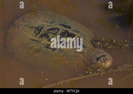 Snapping turtle (Chelydra serpentina) at surface to breath, covered in algae, Virginia, USA. September. - Stock Photo