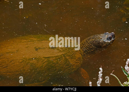 Snapping turtle (Chelydra serpentina) breathing at surface, covered in algae, Virginia, USA. September. - Stock Photo