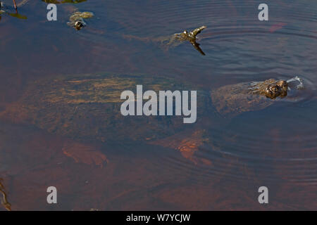Snapping turtle (Chelydra serpentina) breathing  at water surface, covered in algae, Virginia, USA. September. - Stock Photo