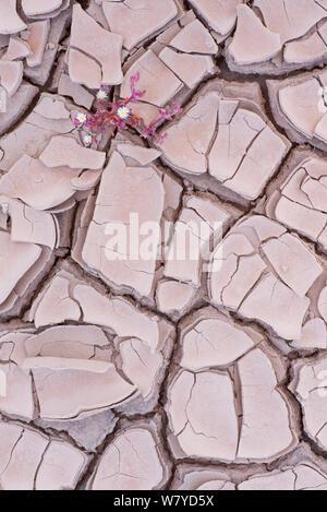 Ice plant (Mesembryanthemum nodiflorum) in dried cracked mud,  Fuerteventura, Canary Islands. - Stock Photo