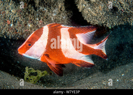 Emperor red snaper (Lutjanus sebae) sub-adult. Lembeh Strait, North Sulawesi, Indonesia. - Stock Photo