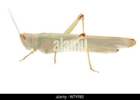 Green grasshopper (Pardillana sp), Denmark Shire, Warren Bioregion, Western Australia. meetyourneighbours.net project - Stock Photo
