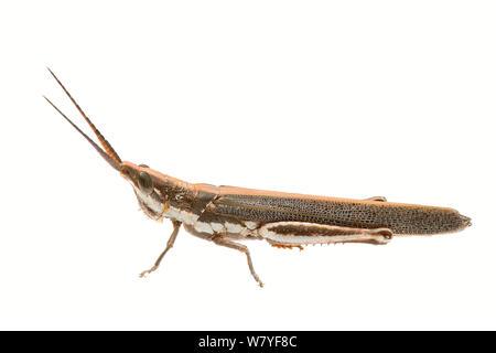 Pleasing grasshopper (Erythropomala amaena), Meekatharra Shire, Gascoyne Bioregion, Western Australia. meetyourneighbours.net project - Stock Photo