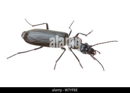 Black ground beetle (Helluonidius sp), Meekatharra Shire, Gascoyne Bioregion, Western Australia. meetyourneighbours.net project - Stock Photo