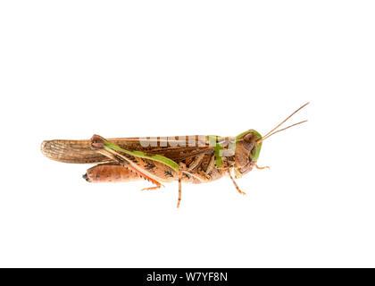 Australian plague locust (Chortoicetes terminifera), Meekatharra Shire, Gascoyne Bioregion, Western Australia. meetyourneighbours.net project - Stock Photo