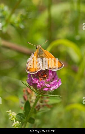 Female Large skipper butterfly (Ochlodes venatus) on thistle, Hutchinson's Bank, New Addington, Croydon, South London, England, UK, June. - Stock Photo