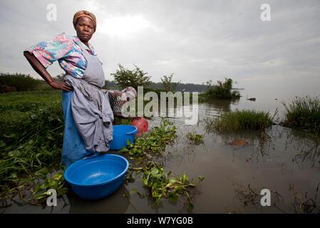 Women with washing bowls wading out to reach lake edge beyond invasive Water hyacinth (Eichhornia crassipes) Kisumu region, Lake Victoria, Kenya, December 2013. - Stock Photo