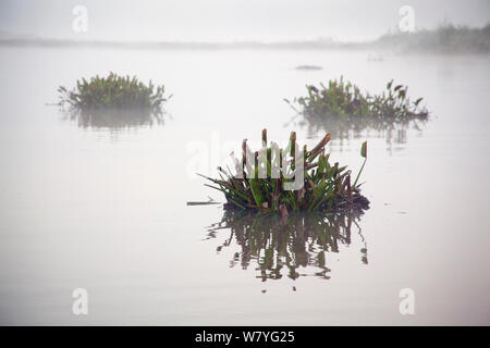 Clumps of highly invasive Water hyacinth (Eichhornia Crassipes) floating on Lake Victoria, Kenya, April 2013. - Stock Photo