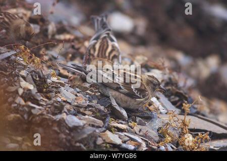 Plain mountain-finches (Leucosticte nemoricola) feeding. Kawakarpo Mountain, Meri Snow Mountain National Park, Yunnan Province, China, October. - Stock Photo