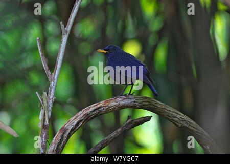 Blue whistling-thrush (Myophonus caeruleus) perched, Ruili County, Dehong Dai and Jingpo Autonomous Prefecture, Yunnan Province, China, February. - Stock Photo