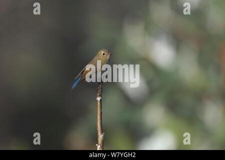 Orange-flanked bush-robin (Tarsiger cyanurus) perched, Tengchong county, Gaoligong Mountain National Nature Reserve, Yunnan Province, China, February. - Stock Photo