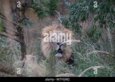 London, UK. 7th Aug, 2019. ZSL London Zoo's Asiatic lion seen during the World Lion Day 2019 celebration. Credit: Phil Lewis/SOPA Images/ZUMA Wire/Alamy Live News - Stock Photo