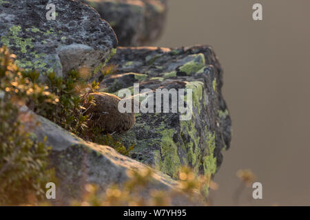Rock Ptarmigan (Lagopus muta) female in summer plumage, sitting on rock. Bernese Alps, Switzerland. August.
