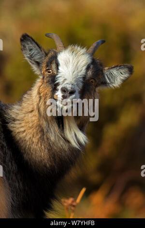 Feral goat (Capra aegagrus hircus) female, Scotland, UK, April. - Stock Photo