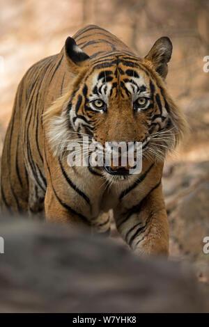 Bengal tiger (Panthera tigris) stalking, Ranthambhore National Park National Park, India. Endangered species.