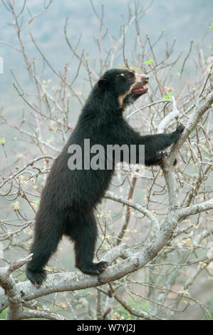 Spectacled Bear (Tremarctos ornatus) female climbing tree, Chaparri Reserve, Lambayeque Province, Peru - Stock Photo