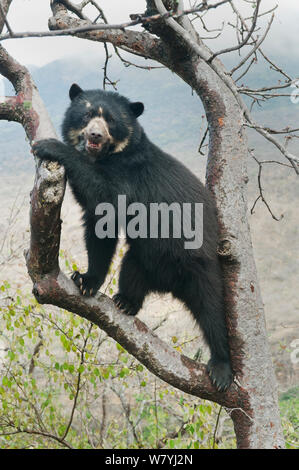 Spectacled Bear (Tremarctos ornatus) female in tree, Chaparri Reserve, Lambayeque Province, Peru - Stock Photo