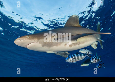 Oceanic whitetip shark (Carcharhinus longimanus) accompanied by pilotfish (Naucrates ductor) as it cruises beneath the surface of the Red Sea, close to Little Brother Island. A rainbow runner (Elagatis bipinnulata) is hiding amonst the pilotfish. The Brothers Islands, Egypt. Red Sea. Endangered species. - Stock Photo