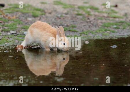 Feral domestic rabbit (Oryctolagus cuniculus) juvenile drinking water, Okunojima Island, also known as Rabbit Island, Hiroshima, Japan, May. - Stock Photo