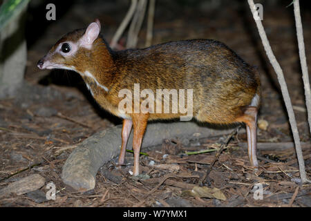 Lesser mouse deer (Tragulus kanchil), Malaysia, February. - Stock Photo