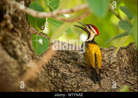 Lesser Goldenback Woodpecker (Dinopium benghalense) perching, Bandhavgarh National Park, India. - Stock Photo
