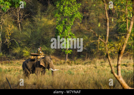 Mahout riding a domestic Indian Elephant (Elephas maximus indicus) whilst it drink from a river, Bandhavgarh National Park, India. - Stock Photo