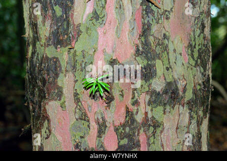 Yew tree (Taxus baccata) bark with new needles growing direct from trunk, Herefordshire, England, December. - Stock Photo
