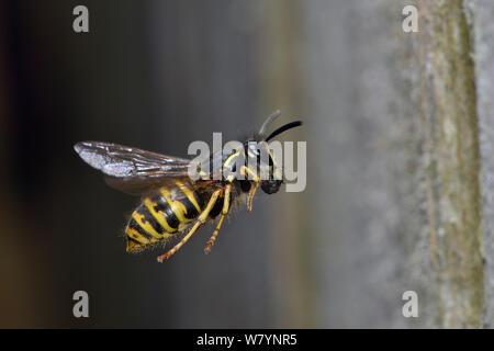 Common wasp (Vespula vulgaris) worker flying back toward nest, carrying food, Hertfordshire, England, UK, June - Stock Photo