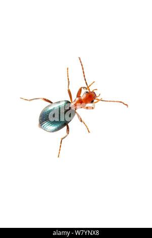 Bombadier beetle (Brachinus sp), Golan Heights, Israel, March. meetyourneighbours.net project - Stock Photo