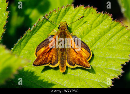 Large skipper butterfly (Ochlodes venatus) male resting on a leaf, London, UK, June. - Stock Photo